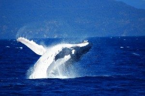 Accommodation-Gold-Coast-Whale-1-300x199